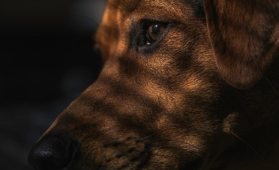 习得性无助狗狗的实验